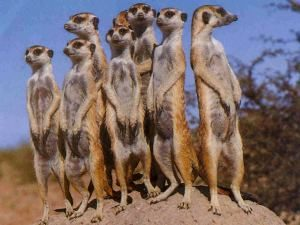 Important Message from Fatty Lumpkin re: Meerkats!